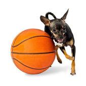 Hund spielen ball - toy terrier hund — Stockfoto