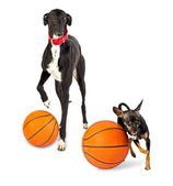 Greyhound dog and toy dog with a basketballs — Stock Photo