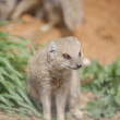 Yellow Mongoose - Stock fotografie