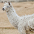 Llama in a farm — Stock Photo