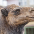 Funny Camel — Stock Photo #9952007