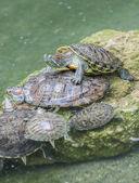 Su kaplumbağaları — Stok fotoğraf