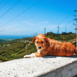Red dog resting at the curb — Stock Photo