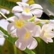 White frangipani flowers on leaves background — Stock Photo #8303576