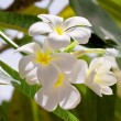 Stock Photo: White frangipani flowers on leaves background
