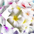 White frangipani flowers — Stock Photo
