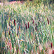 Bulrush in marsh - Stock Photo