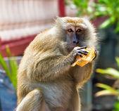 Apan äter bröd — Stockfoto