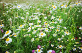 Summer field with flowers — Stock Photo