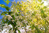 Fleurs de wiyh arbres — Photo