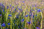 Cornflowers field — Stock Photo