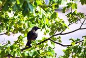 Raven no ramo — Foto Stock