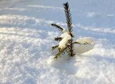 El árbol de la piel joven en deriva de nieve — Foto de Stock