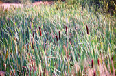Bulrush in marsh — Stock Photo
