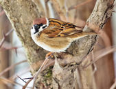 Portrait of sparrow — Stock Photo