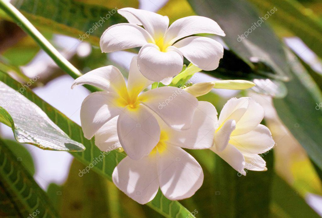 树叶背景上的白色素馨花鲜花
