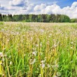 Summer field with flowers - Foto Stock