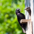 Starling and his nestling - Stock Photo