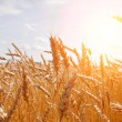 Grain in a farm field and sun — Stock Photo #8600126