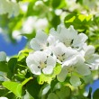 Branch blossom apple tree and blue sky with sun — Stock Photo #8651123