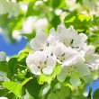 Branch blossom apple tree and blue sky with sun — Stock Photo