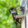 Starling feed his nestling - Foto de Stock