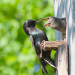 Starling feed his nestling - Stock Photo