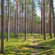Stock Photo: Path and coniferous forest
