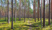 Path and coniferous forest — Stock Photo