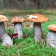 Edible mushrooms in forest. orange-cap boletus - Stock Photo