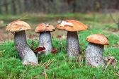 Jadalne grzyby w lesie. pomarańczowy czapka borowik — Zdjęcie stockowe