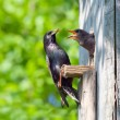 Stock Photo: Starling feed his nestling