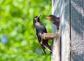 Starling feed his nestling — Stock Photo