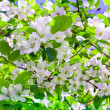 Branch blossom apple tree and blue sky with sun — Stock Photo #8798241