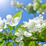 Постер, плакат: Branch blossom apple tree and blue sky with sun