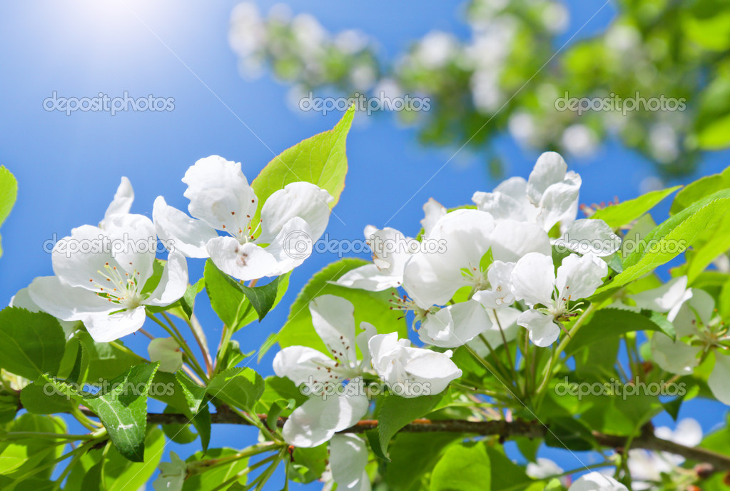 Branch blossom apple tree and blue sky with sun — Stock Photo #8830113