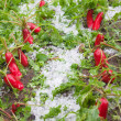 Stock Photo: Damaged radishes after hailstorm