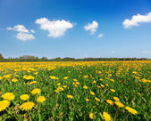 Yellow flowers hill under blue cloudy sky — Стоковое фото