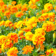 French marigold - Stock Photo