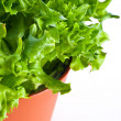 Cos lettuce — Stock Photo