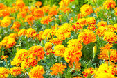 French marigold — Stockfoto
