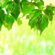 Green beautiful leaves — Stock Photo