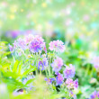 Early summer flowering geranium — Stock Photo