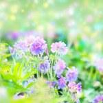 Early summer flowering geranium — Stock Photo #9575090