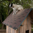 Dog sitting on te roof — Stock Photo #10093381