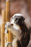 Cotton-top tamarins (Saguinus Oedipus) — Stockfoto