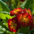 Red yellow Primrose flower — Stock Photo
