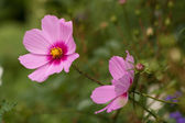 Cosmos flower close up — Foto Stock