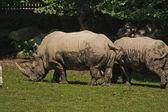 Nosorożca w salzburgu zoo — Zdjęcie stockowe