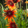 Red Yellow Rudbeckia flower — Stock Photo